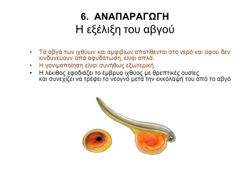 6. ΑΝΑΠΑΡΑΓΩΓΗ Η εξέλιξη του αβγού Τα αβγά των ιχθύων και αμφιβίων αποτίθενται στο νερό και αφού δεν κινδυνεύουν από αφυδάτωση, είναι απλά. Η γονιμοπο