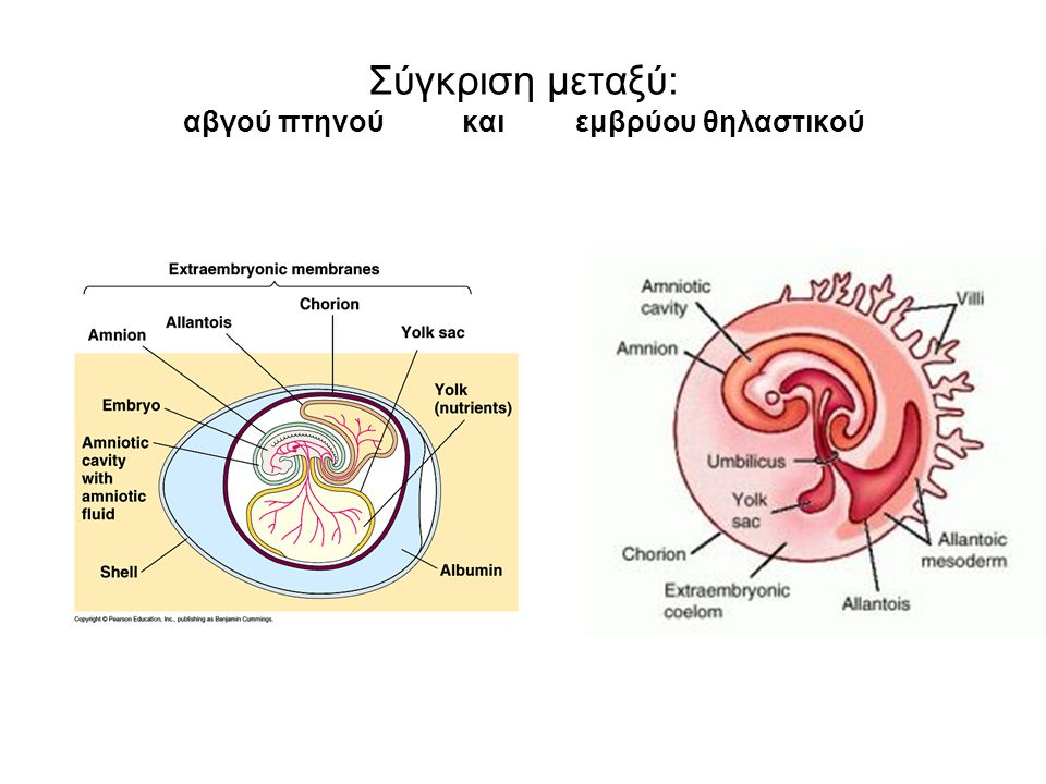 Σύγκριση μεταξύ: αβγού πτηνού και εμβρύου θηλαστικού