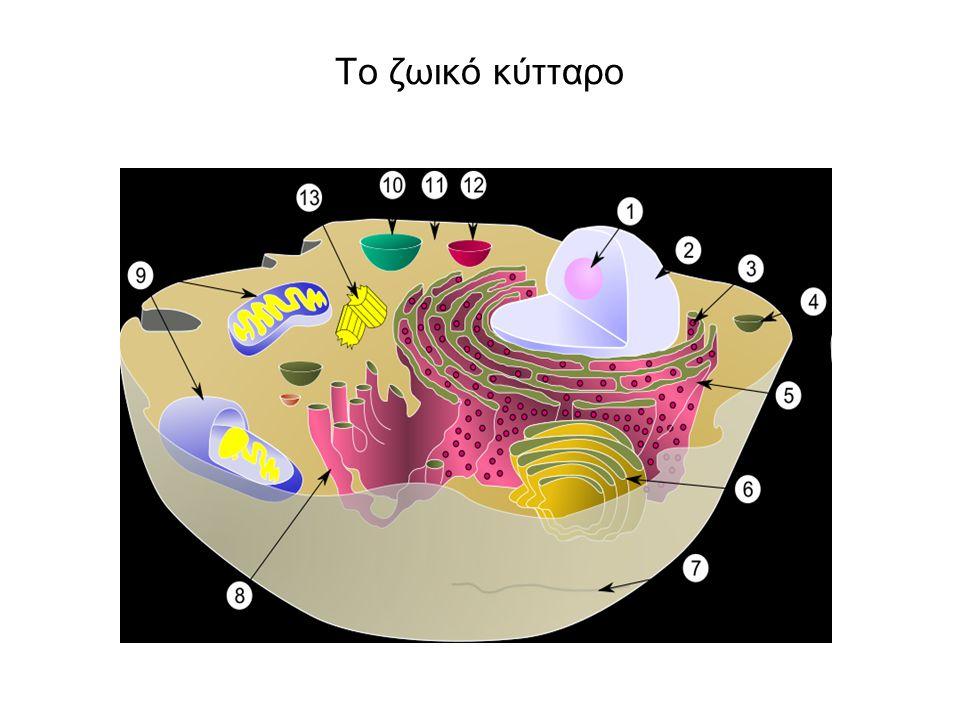 Αβγά …θηλαστικών Τα μονοτρήματα (ορνιθόρυγχος και έχιδνα) γεννούν αβγά. Τα νεογνά τους θηλάζουν.