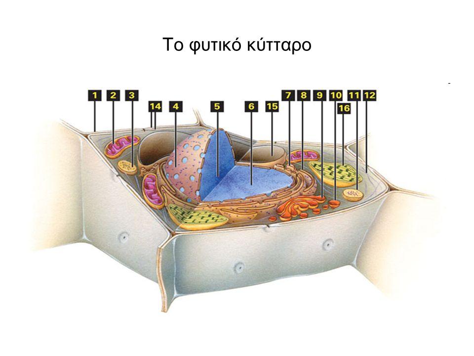 Το ζωικό κύτταρο 1.Πυρηνίσκος 2.Πυρήνας 3.Ριβόσωμα 4.Κυστίδιο 5.Αδρό ενδοπλασματικό δίκτυο 6.Σύμπλεγμα Golgi 7.Κυτταρικός σκελετός 8.Λείο ενδοπλασματικό δίκτυο 9.Μιτοχόνδριο 10.Κενοτόπιο 11.Κυτταρόπλασμα 12.Λυσόσωμα 13.Κεντριόλιο