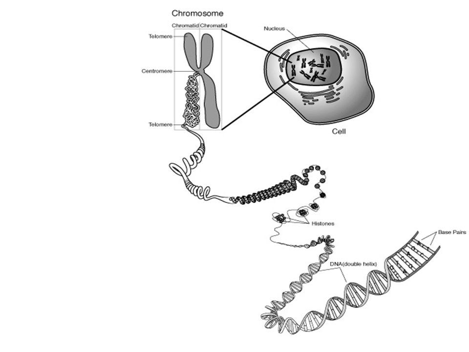 Τα χρωμοσώματα των σωματικών κυττάρων του ανθρώπου γενικά Σε κάθε σωματικό κύτταρο του ανθρώπου υπάρχουν 46 χρωμοσώματα, από τα οποία 23 προέρχονται από τον πατέρα και 23 από τη μητέρα, και σχηματίζουν 23 ζεύγη ομόλογων χρωμοσωμάτων.