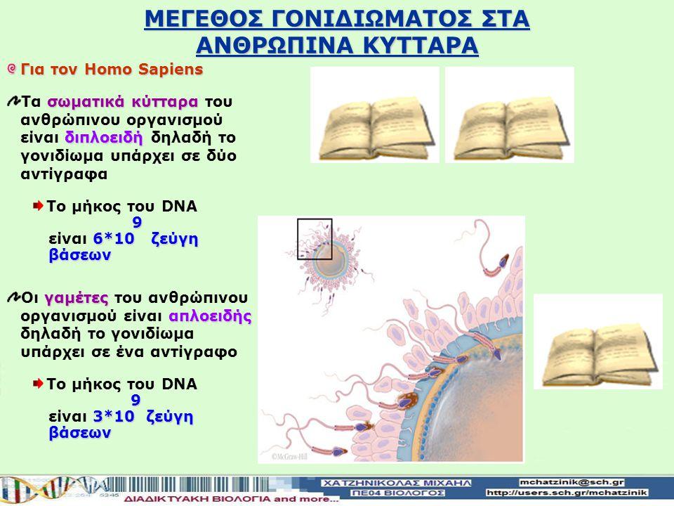 ΜΕΓΕΘΟΣ ΓΟΝΙΔΙΩΜΑΤΟΣ ΣΤΑ ΑΝΘΡΩΠΙΝΑ ΚΥΤΤΑΡΑ Για τον Homo Sapiens σωματικά κύτταρα διπλοειδή Τα σωματικά κύτταρα του ανθρώπινου οργανισμού είναι διπλοειδή δηλαδή το γονιδίωμα υπάρχει σε δύο αντίγραφα Το μήκος του DNA 9 9 6*10 ζεύγη είναι 6*10 ζεύγη βάσεων βάσεων γαμέτες απλοειδής Οι γαμέτες του ανθρώπινου οργανισμού είναι απλοειδής δηλαδή το γονιδίωμα υπάρχει σε ένα αντίγραφο Το μήκος του DNA 9 3*10 ζεύγη είναι 3*10 ζεύγη βάσεων βάσεων