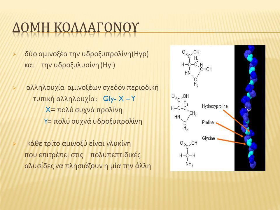  δύο αμινοξέα την υδροξυπρολίνη (Hyp) και την υδροξυλυσίνη (Hyl)  αλληλουχία αμινοξέων σχεδόν περιοδική τυπική αλληλουχία : Gly- X – Y X= πολύ συχνά προλίνη Υ = πολύ συχνά υδροξυπρολίνη  κάθε τρίτο αμινοξύ είναι γλυκίνη που επιτρέπει στις πολυπεπτιδικές αλυσίδες να πλησιάζουν η μία την άλλη