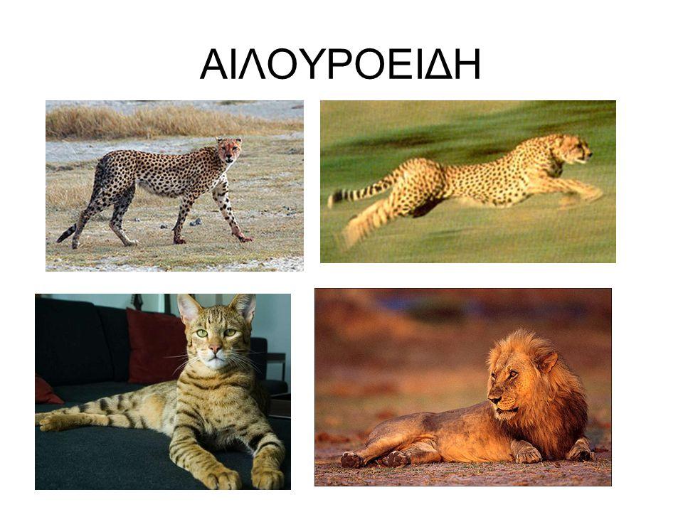 ΑΙΛΟΥΡΟΕΙΔΗ