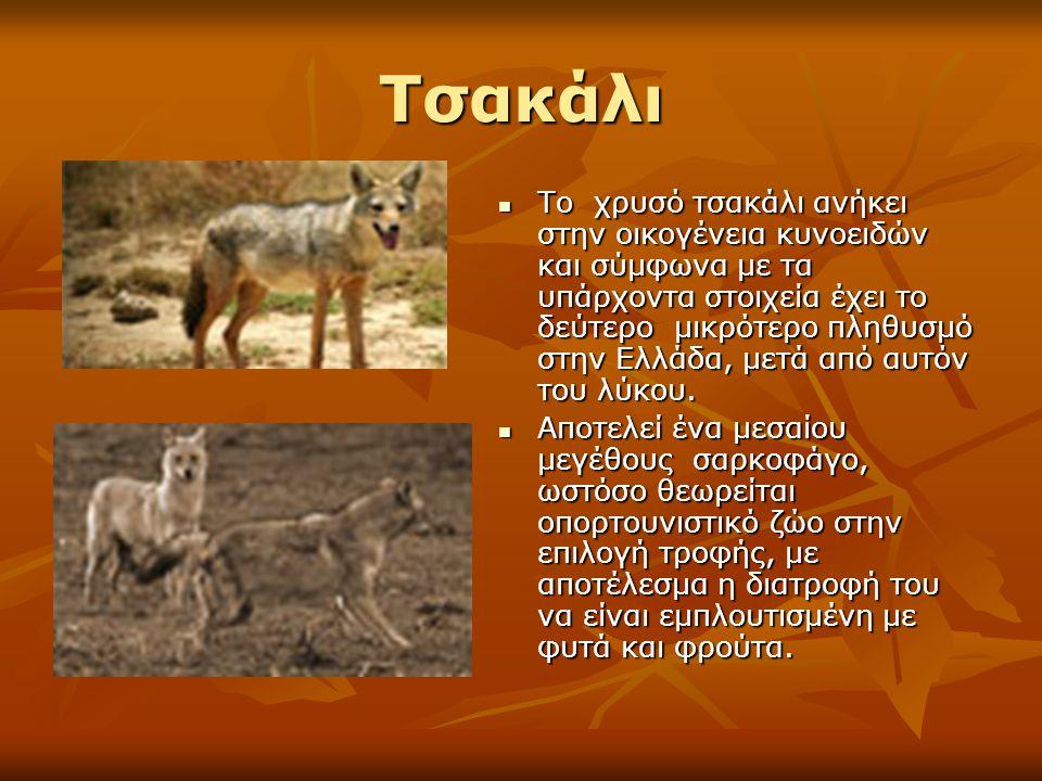 Τσακάλι Το χρυσό τσακάλι ανήκει στην οικογένεια κυνοειδών και σύμφωνα με τα υπάρχοντα στοιχεία έχει το δεύτερο μικρότερο πληθυσμό στην Ελλάδα, μετά απ