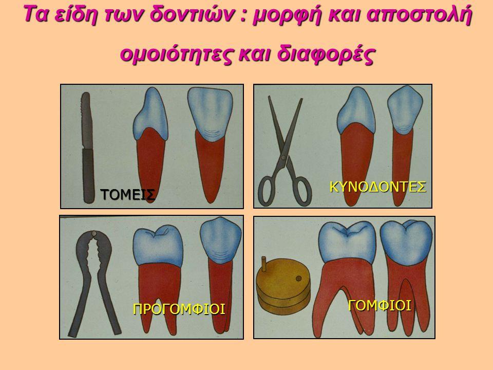 Τα είδη των δοντιών : μορφή και αποστολή ομοιότητες και διαφορές Τα είδη των δοντιών : μορφή και αποστολή ομοιότητες και διαφορές ΤΟΜΕΙΣ ΚΥΝΟΔΟΝΤΕΣ ΓΟ