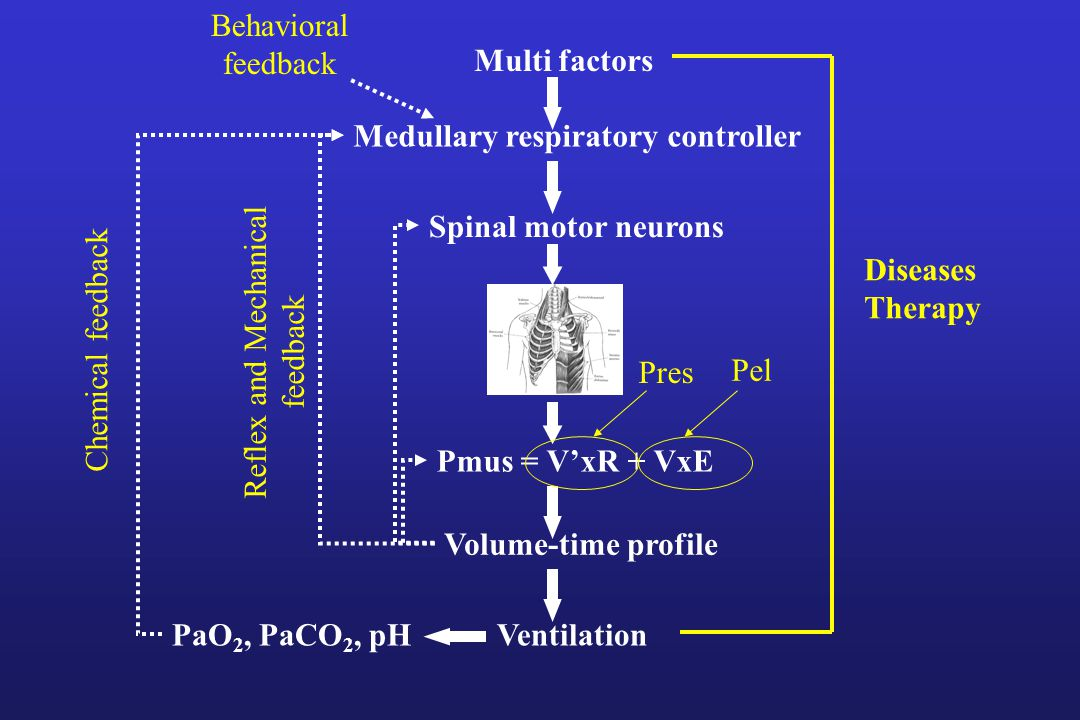 Multi factors Medullary respiratory controller Spinal motor neurons Paw +Pmus = V'xR + VxE Volume-time profile VentilationPaO 2, PaCO 2, pH Diseases Therapy