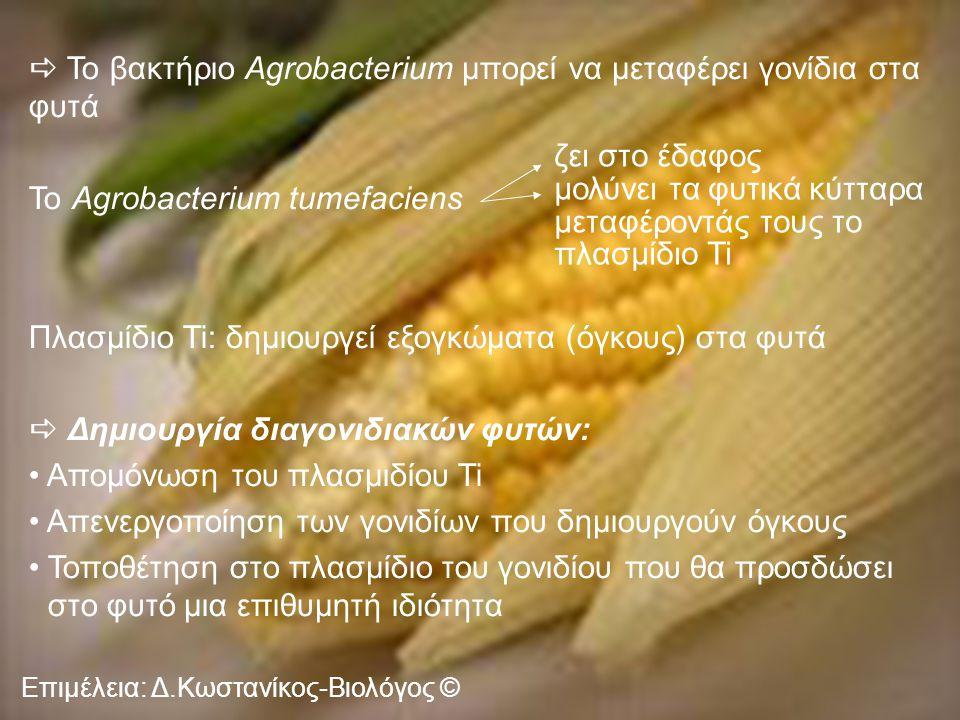 Επιμέλεια: Δ.Κωστανίκος-Βιολόγος ©  Το βακτήριο Agrobacterium μπορεί να μεταφέρει γονίδια στα φυτά Το Agrobacterium tumefaciens Πλασμίδιο Ti: δημιουργεί εξογκώματα (όγκους) στα φυτά  Δημιουργία διαγονιδιακών φυτών: Απομόνωση του πλασμιδίου Ti Απενεργοποίηση των γονιδίων που δημιουργούν όγκους Τοποθέτηση στο πλασμίδιο του γονιδίου που θα προσδώσει στο φυτό μια επιθυμητή ιδιότητα ζει στο έδαφος μολύνει τα φυτικά κύτταρα μεταφέροντάς τους το πλασμίδιο Ti