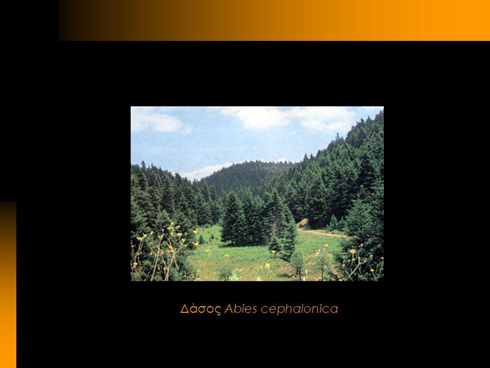 Δάσος Abies cephalonica