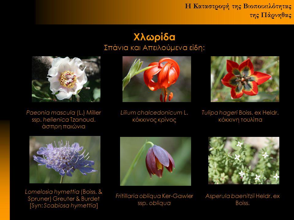Η Καταστροφή της Βιοποικιλότητας της Πάρνηθας Χλωρίδα Σπάνια και Απειλούμενα είδη: Paeonia mascula (L.) Miller ssp. hellenica Tzanoud. άσπρη παιώνια L