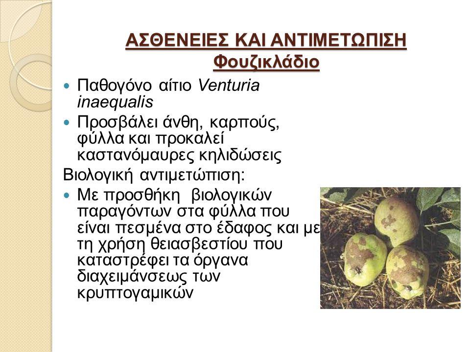 ΑΣΘΕΝΕΙΕΣ ΚΑΙ ΑΝΤΙΜΕΤΩΠΙΣΗ Φουζικλάδιο Παθογόνο αίτιο Venturia inaequalis Προσβάλει άνθη, καρπούς, φύλλα και προκαλεί καστανόμαυρες κηλιδώσεις Βιολογική αντιμετώπιση: Με προσθήκη βιολογικών παραγόντων στα φύλλα που είναι πεσμένα στο έδαφος και με τη χρήση θειασβεστίου που καταστρέφει τα όργανα διαχειμάνσεως των κρυπτογαμικών
