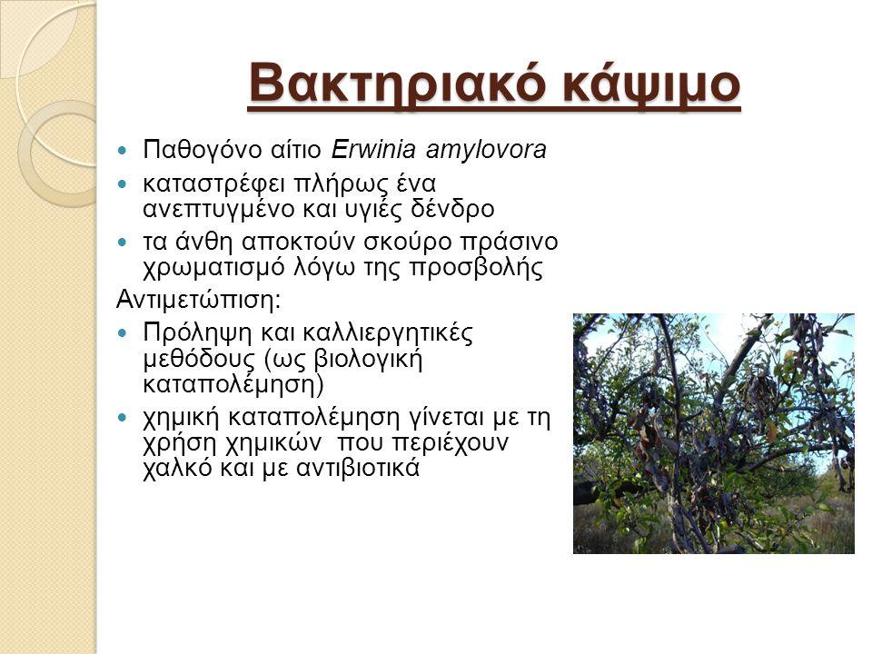 Βακτηριακό κάψιμο Παθογόνο αίτιο Erwinia amylovora καταστρέφει πλήρως ένα ανεπτυγμένο και υγιές δένδρο τα άνθη αποκτούν σκούρο πράσινο χρωματισμό λόγω της προσβολής Αντιμετώπιση: Πρόληψη και καλλιεργητικές μεθόδους (ως βιολογική καταπολέμηση) χημική καταπολέμηση γίνεται με τη χρήση χημικών που περιέχουν χαλκό και με αντιβιοτικά