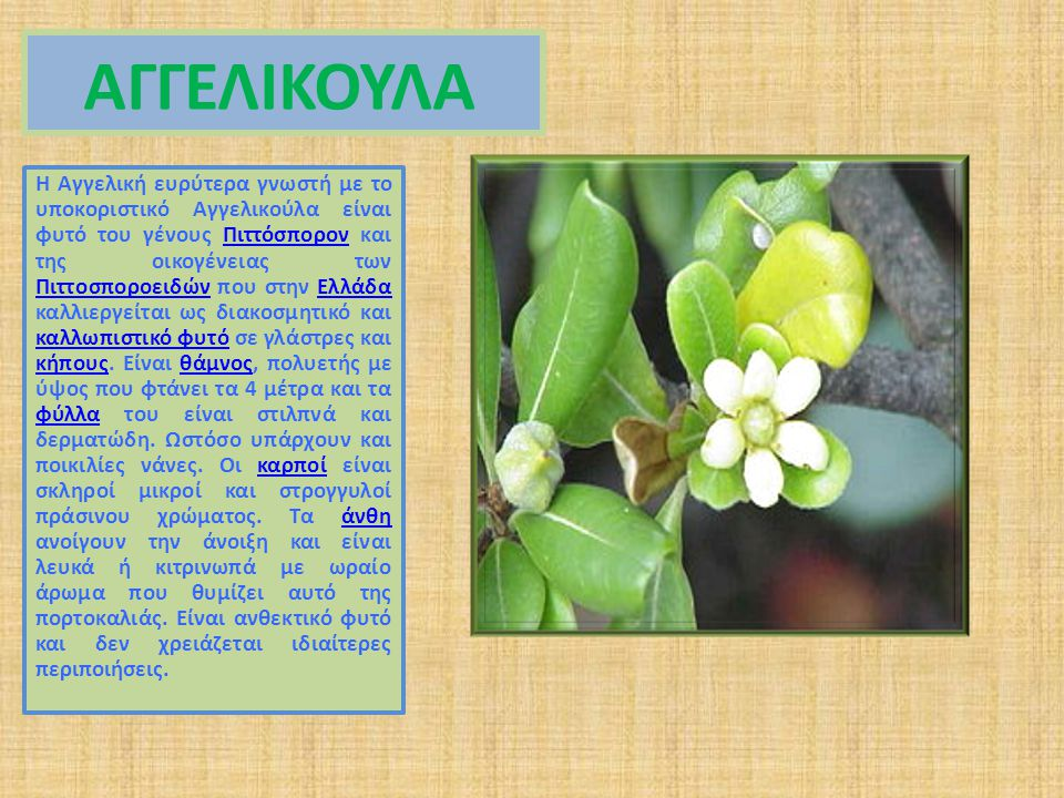 ΑΓΓΕΛΙΚΟΥΛΑ Η Αγγελική ευρύτερα γνωστή με το υποκοριστικό Αγγελικούλα είναι φυτό του γένους Πιττόσπορον και της οικογένειας των Πιττοσποροειδών που στην Ελλάδα καλλιεργείται ως διακοσμητικό και καλλωπιστικό φυτό σε γλάστρες και κήπους.
