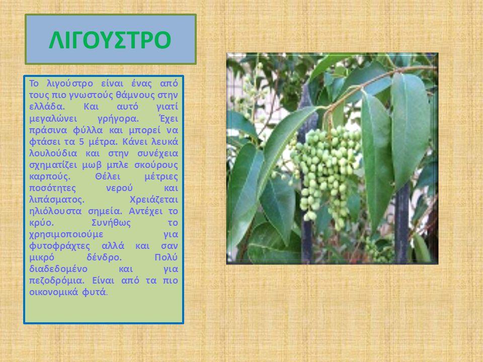 ΛΙΓΟΥΣΤΡΟ Το λιγούστρο είναι ένας από τους πιο γνωστούς θάμνους στην ελλάδα.