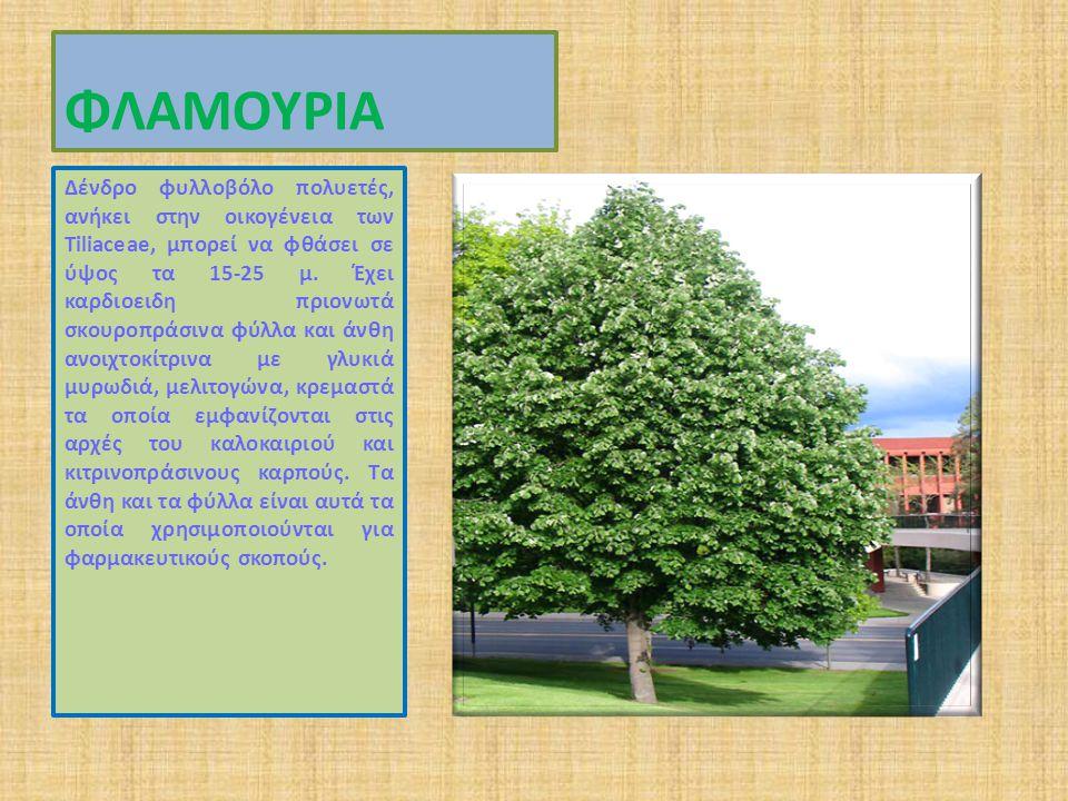 ΦΛΑΜΟΥΡΙΑ Δένδρο φυλλοβόλο πολυετές, ανήκει στην οικογένεια των Tiliaceae, μπορεί να φθάσει σε ύψος τα 15-25 μ.