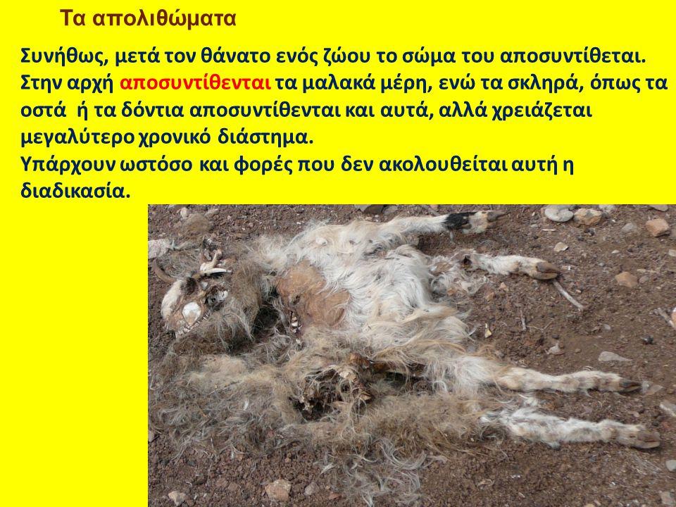 Τα απολιθώματα Συνήθως, μετά τον θάνατο ενός ζώου το σώμα του αποσυντίθεται. Στην αρχή αποσυντίθενται τα μαλακά μέρη, ενώ τα σκληρά, όπως τα οστά ή τα