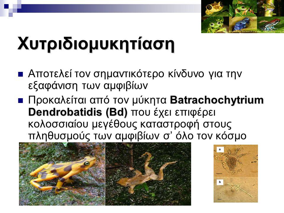 Χυτριδιομυκητίαση Αποτελεί τον σημαντικότερο κίνδυνο για την εξαφάνιση των αμφιβίων Batrachochytrium Dendrobatidis (Bd) Προκαλείται από τον μύκητα Bat