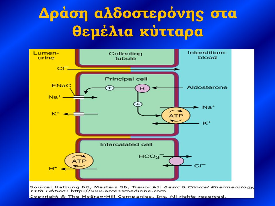 H + - ATPάση Εκκρίνει H + τόσο στο εγγύς, όσο και στο άπω σωληνάριο – 30-40% των παραγόμενων H + στο εγγύς σωληνάριο – 10-15% των παραγόμενων H + στην αγκύλη του Henle – 20-40% των παραγόμενων H + στο άπω σωληνάριο