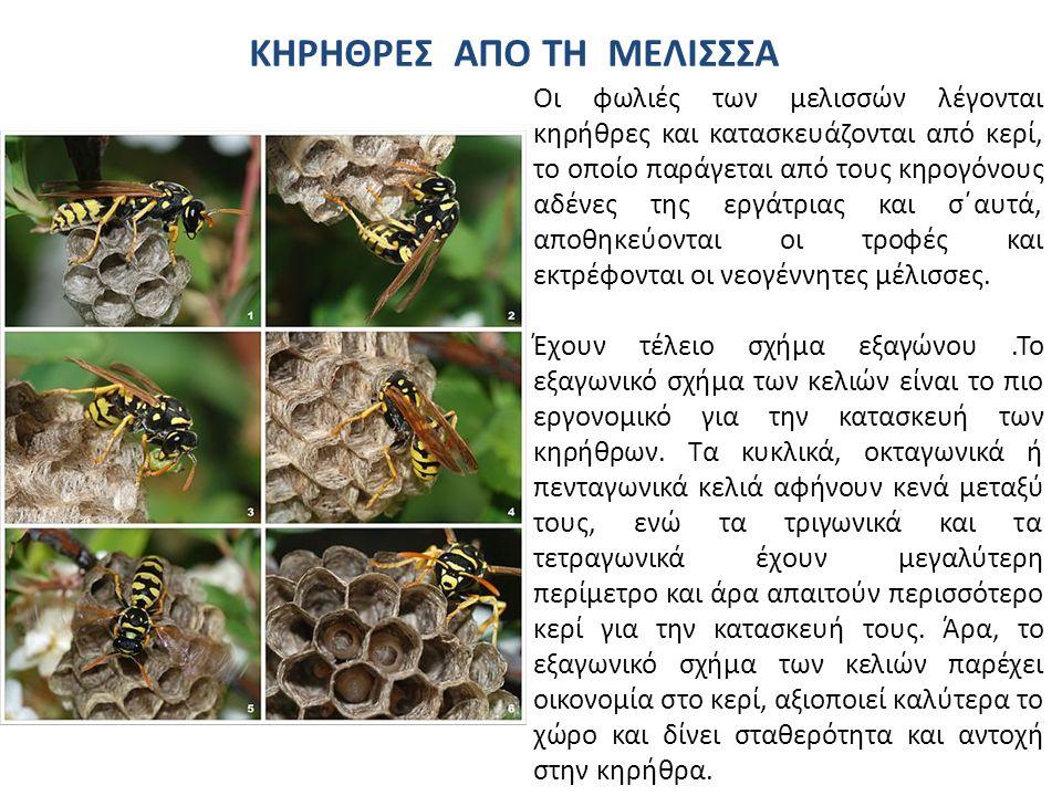 Οι φωλιές των μελισσών λέγονται κηρήθρες και κατασκευάζονται από κερί, το οποίο παράγεται από τους κηρογόνους αδένες της εργάτριας και σ΄αυτά, αποθηκεύονται οι τροφές και εκτρέφονται οι νεογέννητες μέλισσες.