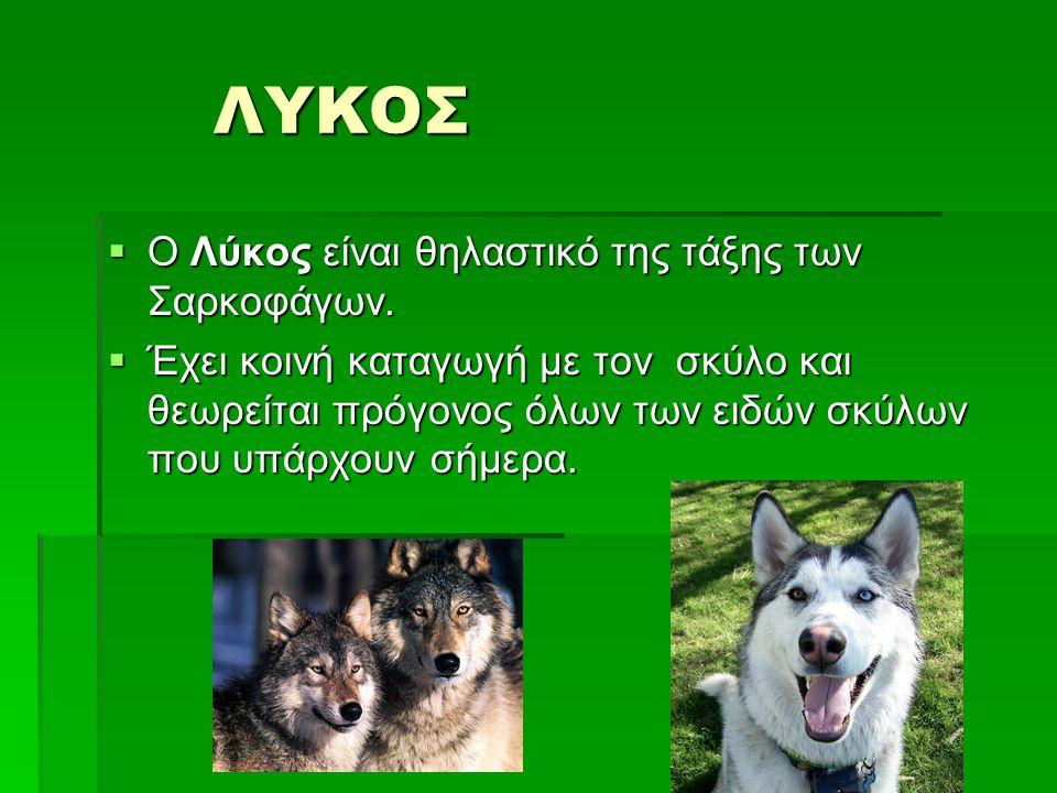 ΛΥΚΟΣ ΛΥΚΟΣ  Ο Λύκος είναι θηλαστικό της τάξης των Σαρκοφάγων.  Έχει κοινή καταγωγή με τον σκύλο και θεωρείται πρόγονος όλων των ειδών σκύλων που υπ