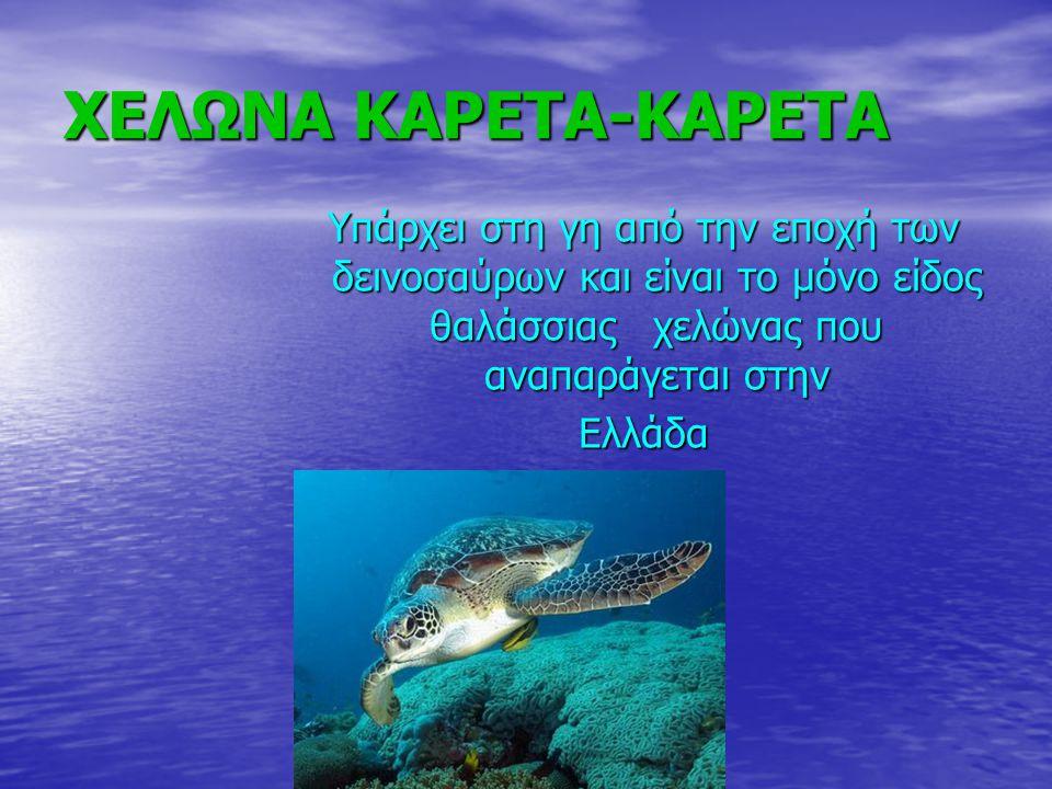 ΧΕΛΩΝΑ ΚΑΡΕΤΑ-ΚΑΡΕΤΑ Υπάρχει στη γη από την εποχή των δεινοσαύρων και είναι το μόνο είδος θαλάσσιας χελώνας που αναπαράγεται στην Ελλάδα