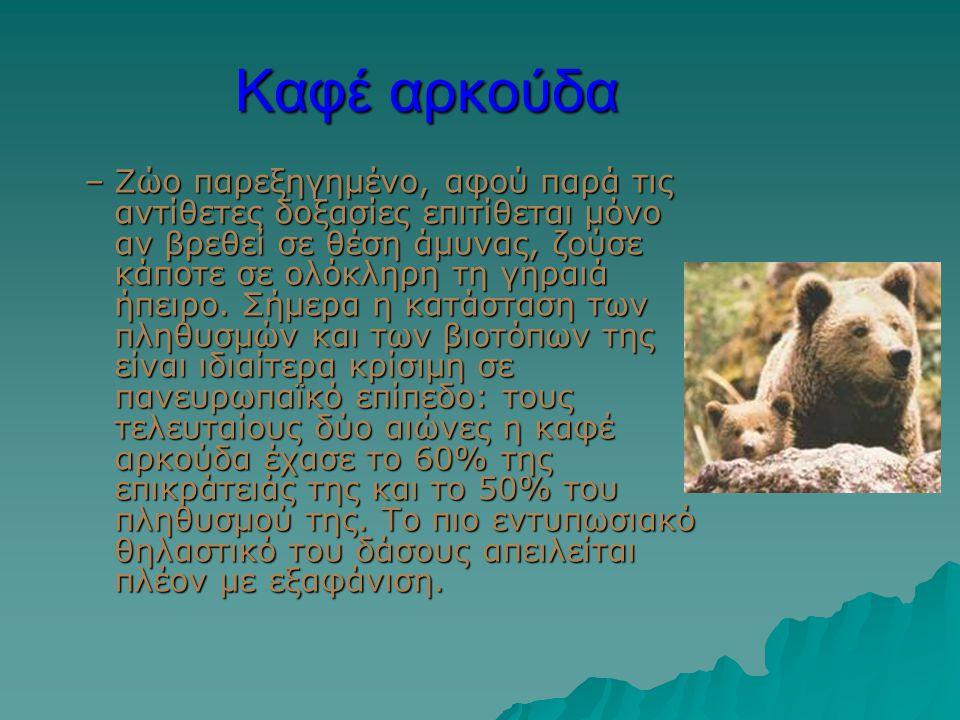 Καφέ αρκούδα –Ζώο παρεξηγημένο, αφού παρά τις αντίθετες δοξασίες επιτίθεται μόνο αν βρεθεί σε θέση άμυνας, ζούσε κάποτε σε ολόκληρη τη γηραιά ήπειρο.