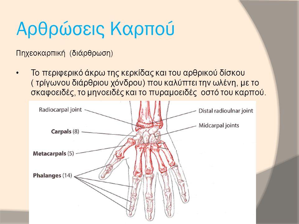 Αρθρώσεις Καρπού Πηχεοκαρπική (διάρθρωση) Το περιφερικό άκρω της κερκίδας και του αρθρικού δίσκου ( τρίγωνου διάρθριου χόνδρου) που καλύπτει την ωλένη