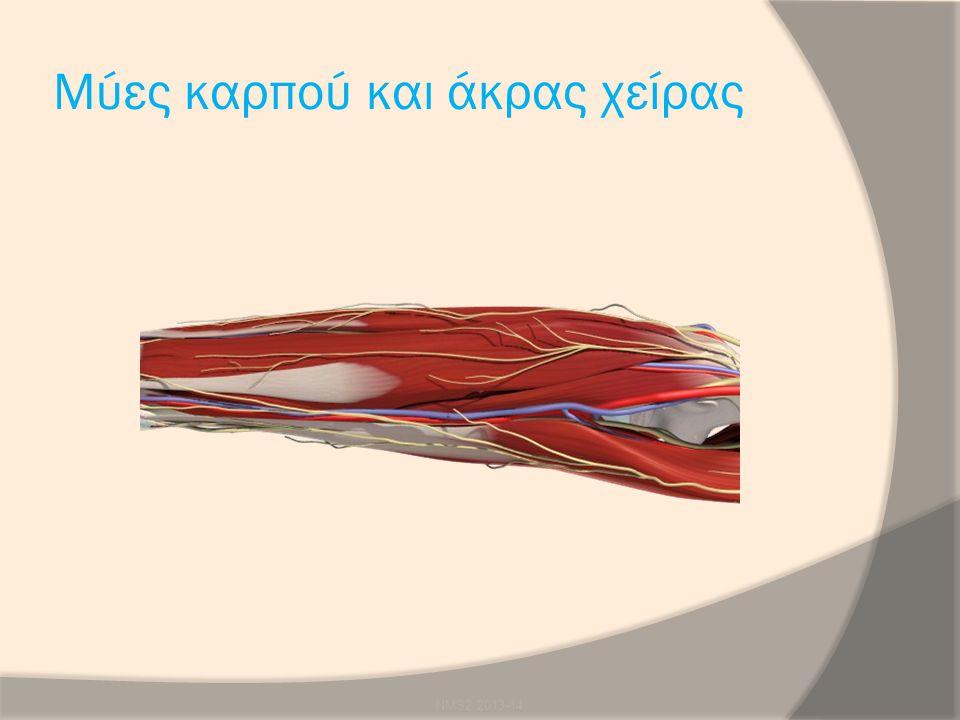 Μύες καρπού και άκρας χείρας NMS2 2013-14