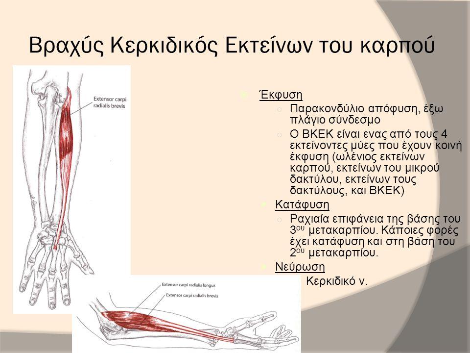 Βραχύς Κερκιδικός Εκτείνων του καρπού  Έκφυση ○ Παρακονδύλιο απόφυση, έξω πλάγιο σύνδεσμο ○ Ο ΒΚΕΚ είναι ενας από τους 4 εκτείνοντες μύες που έχουν κ
