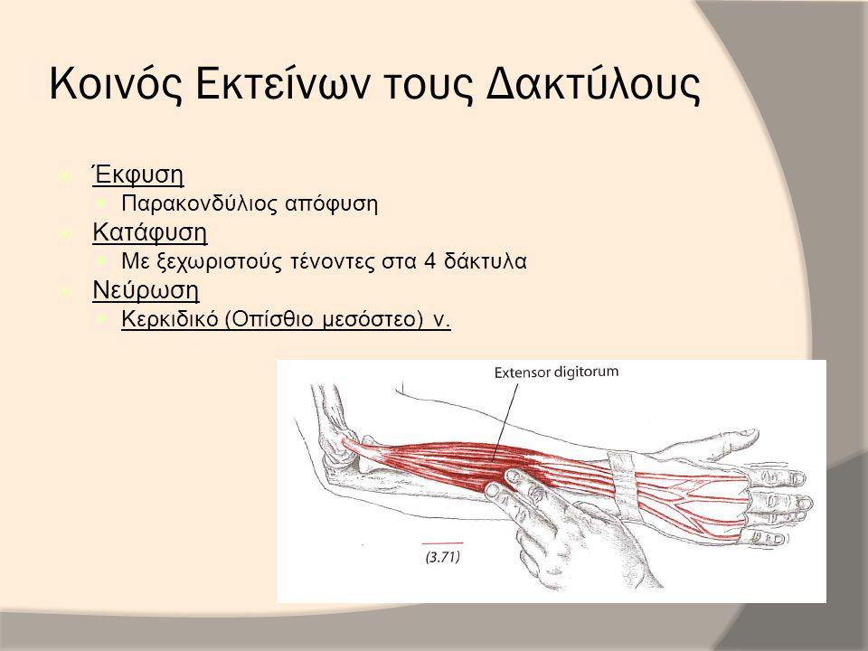 Κοινός Εκτείνων τους Δακτύλους  Έκφυση Παρακονδύλιος απόφυση  Κατάφυση Με ξεχωριστούς τένοντες στα 4 δάκτυλα  Νεύρωση Κερκιδικό (Οπίσθιο μεσόστεο)