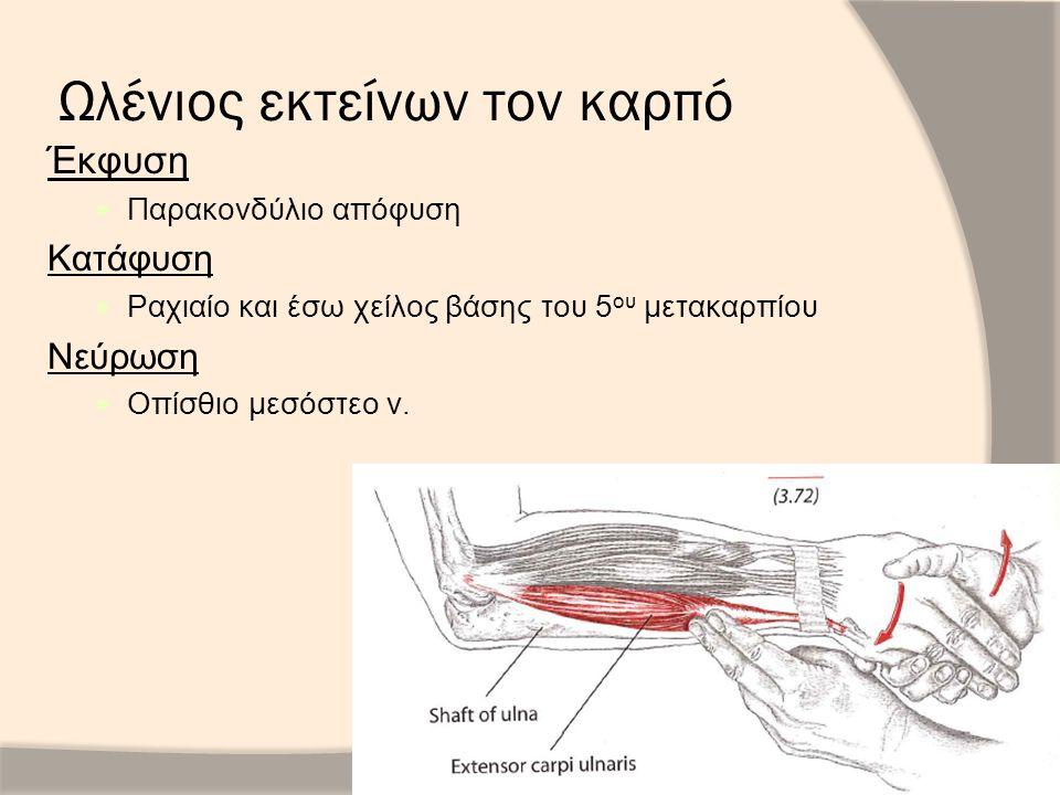 Ωλένιος εκτείνων τον καρπό Έκφυση Παρακονδύλιο απόφυση Κατάφυση Ραχιαίο και έσω χείλος βάσης του 5 ου μετακαρπίου Νεύρωση Οπίσθιο μεσόστεο ν.