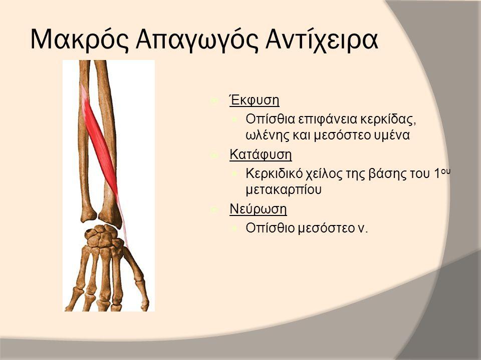 Μακρός Απαγωγός Αντίχειρα  Έκφυση Οπίσθια επιφάνεια κερκίδας, ωλένης και μεσόστεο υμένα  Κατάφυση Κερκιδικό χείλος της βάσης του 1 ου μετακαρπίου 