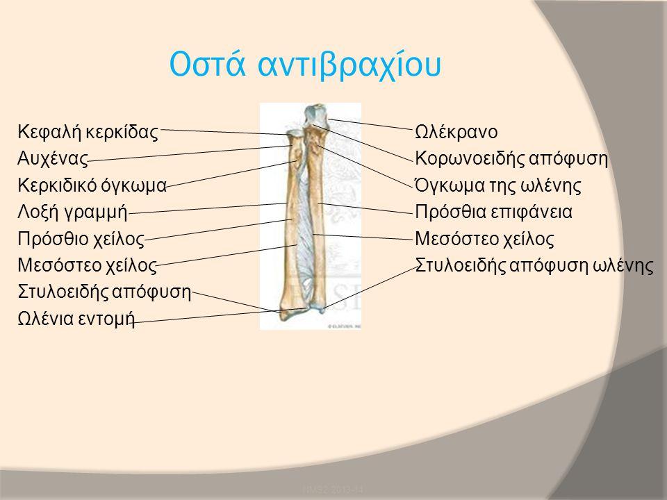 Οστά αντιβραχίου Κεφαλή κερκίδαςΩλέκρανο ΑυχέναςΚορωνοειδής απόφυση Κερκιδικό όγκωμα Όγκωμα της ωλένης Λοξή γραμμήΠρόσθια επιφάνεια Πρόσθιο χείλοςΜεσό