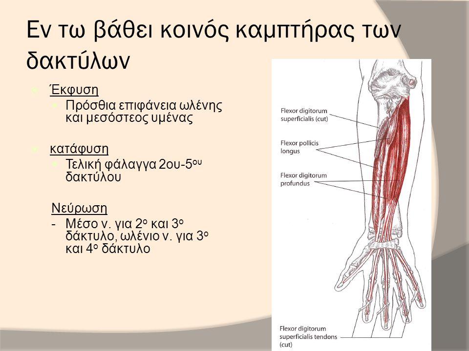 Εν τω βάθει κοινός καμπτήρας των δακτύλων  Έκφυση Πρόσθια επιφάνεια ωλένης και μεσόστεος υμένας  κατάφυση Τελική φάλαγγα 2ου-5 ου δακτύλου Νεύρωση -