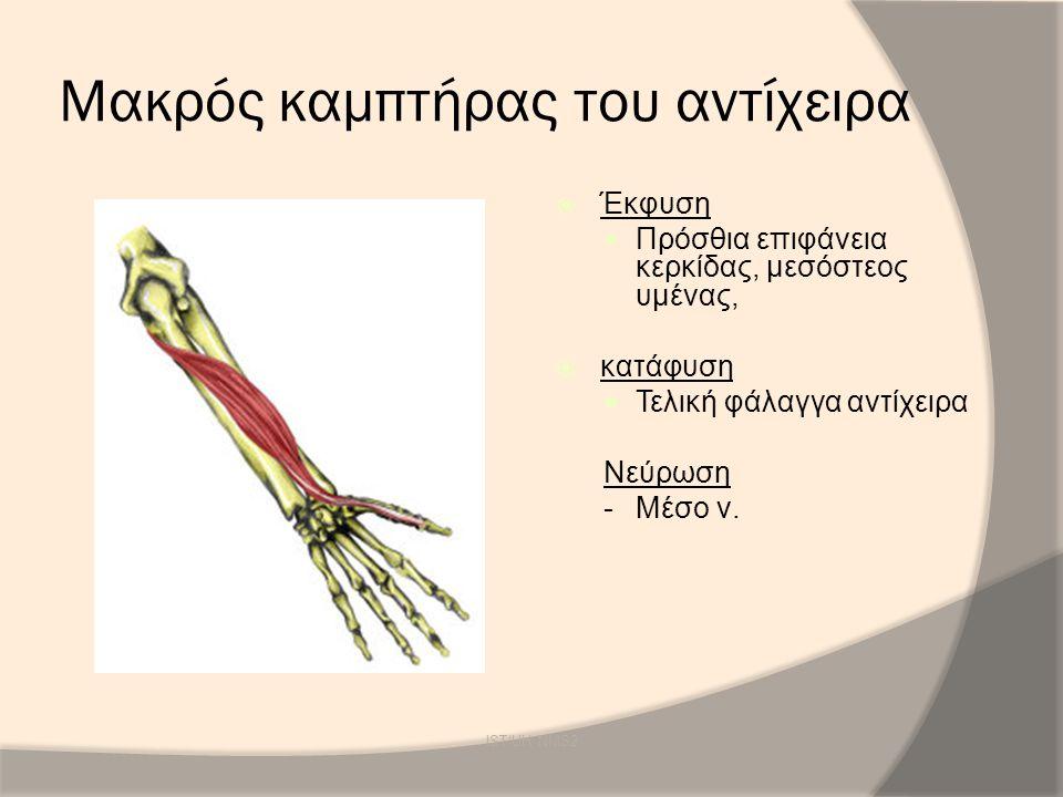 Μακρός καμπτήρας του αντίχειρα  Έκφυση Πρόσθια επιφάνεια κερκίδας, μεσόστεος υμένας,  κατάφυση Τελική φάλαγγα αντίχειρα Νεύρωση -Μέσο ν. IST/UH NMS2