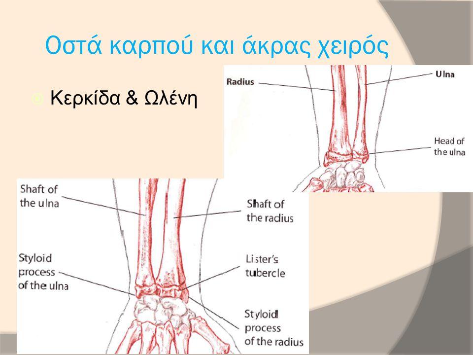 Μακρός Απαγωγός Αντίχειρα  Έκφυση Οπίσθια επιφάνεια κερκίδας, ωλένης και μεσόστεο υμένα  Κατάφυση Κερκιδικό χείλος της βάσης του 1 ου μετακαρπίου  Νεύρωση Οπίσθιο μεσόστεο ν.