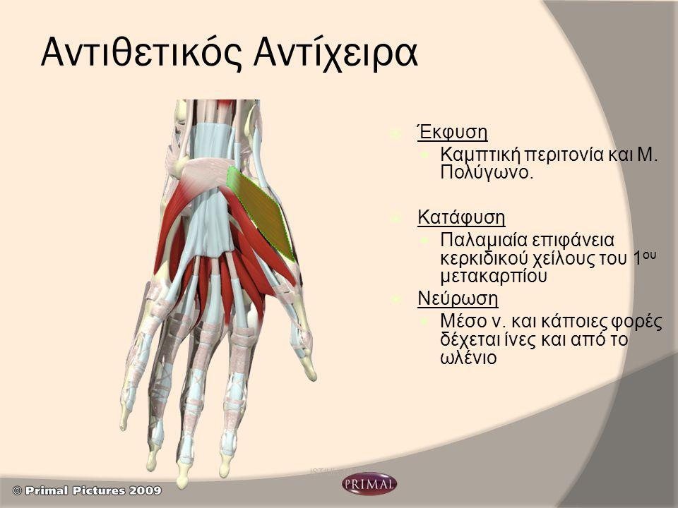 Αντιθετικός Αντίχειρα  Έκφυση Καμπτική περιτονία και Μ. Πολύγωνο.  Κατάφυση Παλαμιαία επιφάνεια κερκιδικού χείλους του 1 ου μετακαρπίου  Νεύρωση Μέ