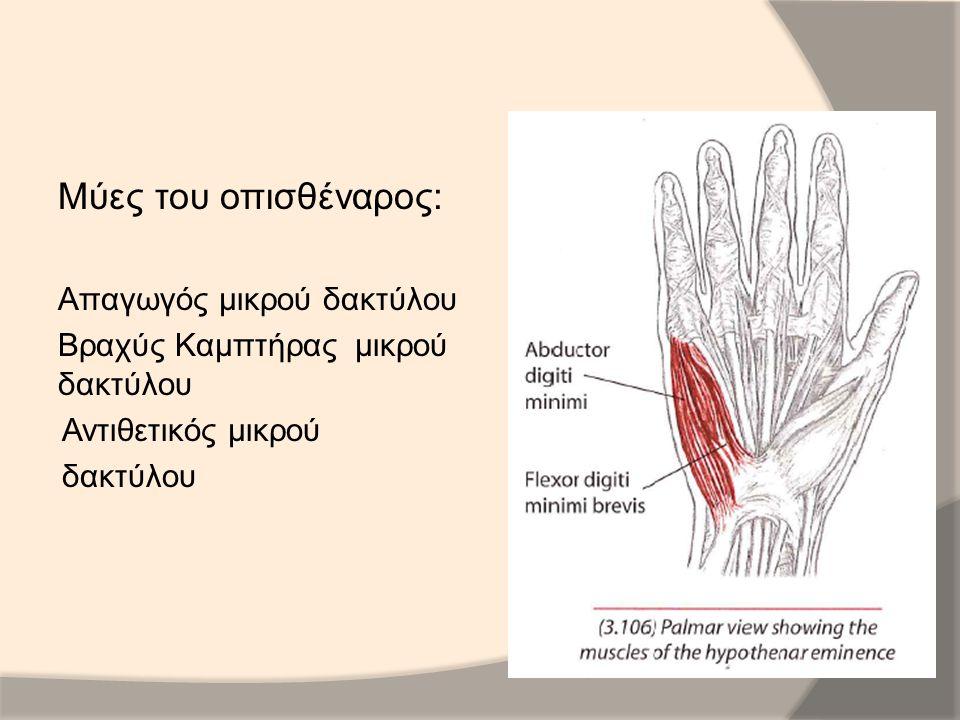 Μύες του οπισθέναρος: Απαγωγός μικρού δακτύλου Βραχύς Καμπτήρας μικρού δακτύλου Αντιθετικός μικρού δακτύλου