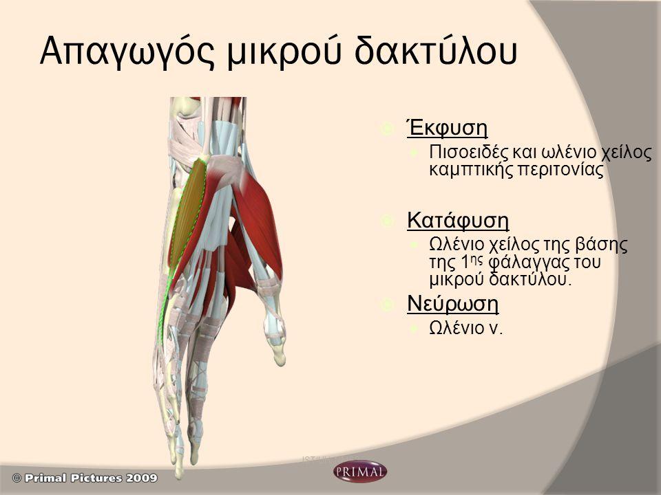 Απαγωγός μικρού δακτύλου  Έκφυση Πισοειδές και ωλένιο χείλος καμπτικής περιτονίας  Κατάφυση Ωλένιο χείλος της βάσης της 1 ης φάλαγγας του μικρού δακ
