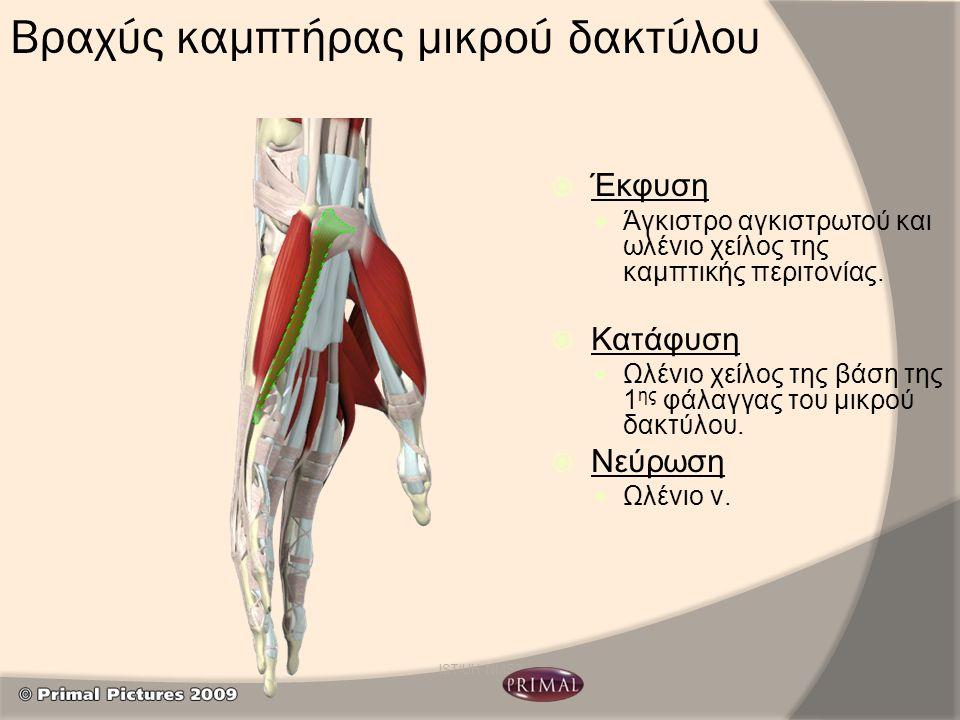 Βραχύς καμπτήρας μικρού δακτύλου  Έκφυση Άγκιστρο αγκιστρωτού και ωλένιο χείλος της καμπτικής περιτονίας.  Κατάφυση Ωλένιο χείλος της βάση της 1 ης