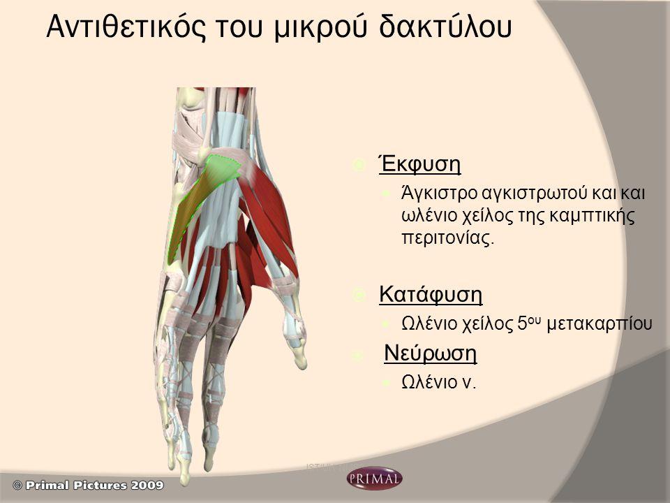 Αντιθετικός του μικρού δακτύλου  Έκφυση Άγκιστρο αγκιστρωτού και και ωλένιο χείλος της καμπτικής περιτονίας.  Κατάφυση Ωλένιο χείλος 5 ου μετακαρπίο