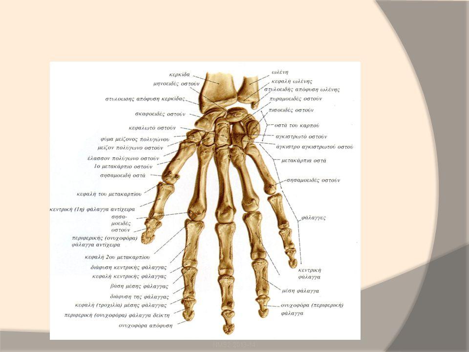 Οστά της άκρας χείρας Καρπομετακάρπιες αρθρώσεις: διάρθρωση, 1 st = εφιππιοειδής Καρπομετακάρπιες αρθρώσεις Μετακαρπιοφαλαγγικές αρθρώσεις