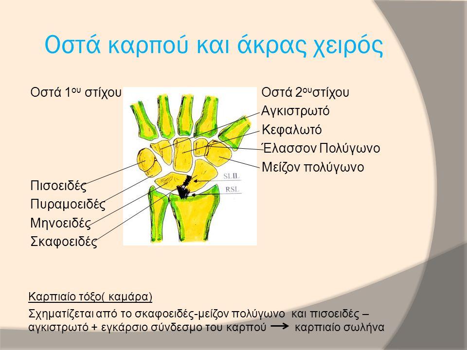 Οστά καρπού και άκρας χείρας Μετακάρπια( βάση, διάφυση, κεφαλή Φάλαγγες ( 3 σε κάθε μετακάρπιο πλήν αντίχειρα)
