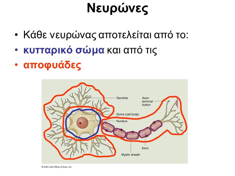 Το κυτταρικό σώμα περιέχει τον πυρήνα και τα οργανίδια του κυττάρου.