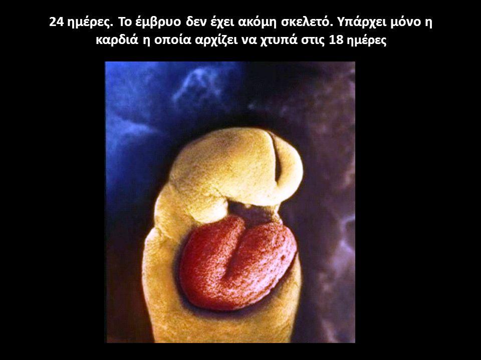 24 ημέρες. Το έμβρυο δεν έχει ακόμη σκελετό. Υπάρχει μόνο η καρδιά η οποία αρχίζει να χτυπά στις 18 ημέρες