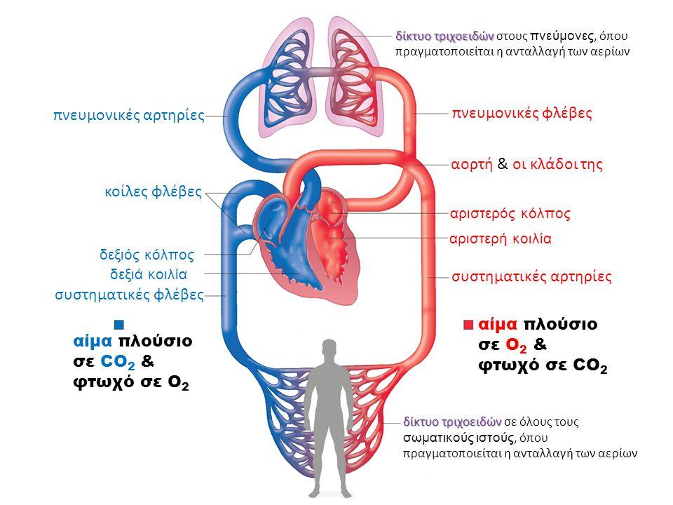 πνευμονικές αρτηρίες πνευμονικές φλέβες δίκτυο τριχοειδών δίκτυο τριχοειδών στους πνεύμονες, όπου πραγματοποιείται η ανταλλαγή των αερίων αορτή & οι κλάδοι της αριστερός κόλπος αριστερή κοιλία συστηματικές αρτηρίες δίκτυο τριχοειδών δίκτυο τριχοειδών σε όλους τους σωματικούς ιστούς, όπου πραγματοποιείται η ανταλλαγή των αερίων αίμα πλούσιο σε O 2 & φτωχό σε CO 2 αίμα πλούσιο σε CO 2 & φτωχό σε O 2 κοίλες φλέβες δεξιός κόλπος δεξιά κοιλία συστηματικές φλέβες