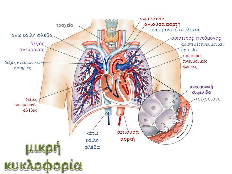 αορτικό τόξο ανιούσα αορτή αριστερός πνεύμονας δεξιός πνεύμονας αριστερές πνευμονικές αρτηρίες αριστερές πνευμονικές φλέβες πνευμονική κυψελίδα τριχοε