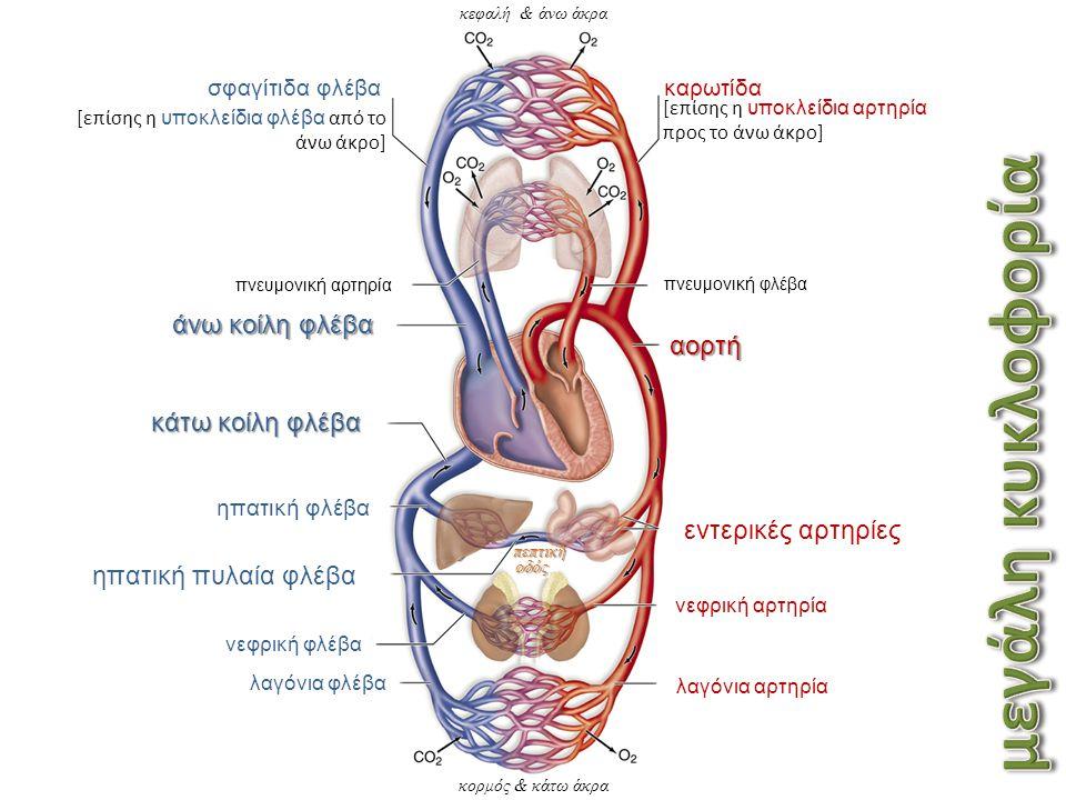 κεφαλή & άνω άκρα καρωτίδα [επίσης η υποκλείδια αρτηρία προς το άνω άκρο] πνευμονική φλέβα αορτή εντερικές αρτηρίες νεφρική αρτηρία λαγόνια αρτηρία λαγόνια φλέβα νεφρική φλέβα ηπατική πυλαία φλέβα ηπατική φλέβα κάτω κοίλη φλέβα άνω κοίλη φλέβα πνευμονική αρτηρία σφαγίτιδα φλέβα [επίσης η υποκλείδια φλέβα από το άνω άκρο] κορμός & κάτω άκρα πεπτική οδός