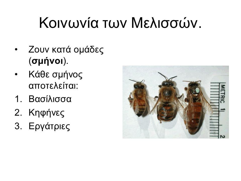 Κοινωνία των Μελισσών. Ζουν κατά ομάδες (σμήνοι). Κάθε σμήνος αποτελείται: 1.Βασίλισσα 2.Κηφήνες 3.Εργάτριες