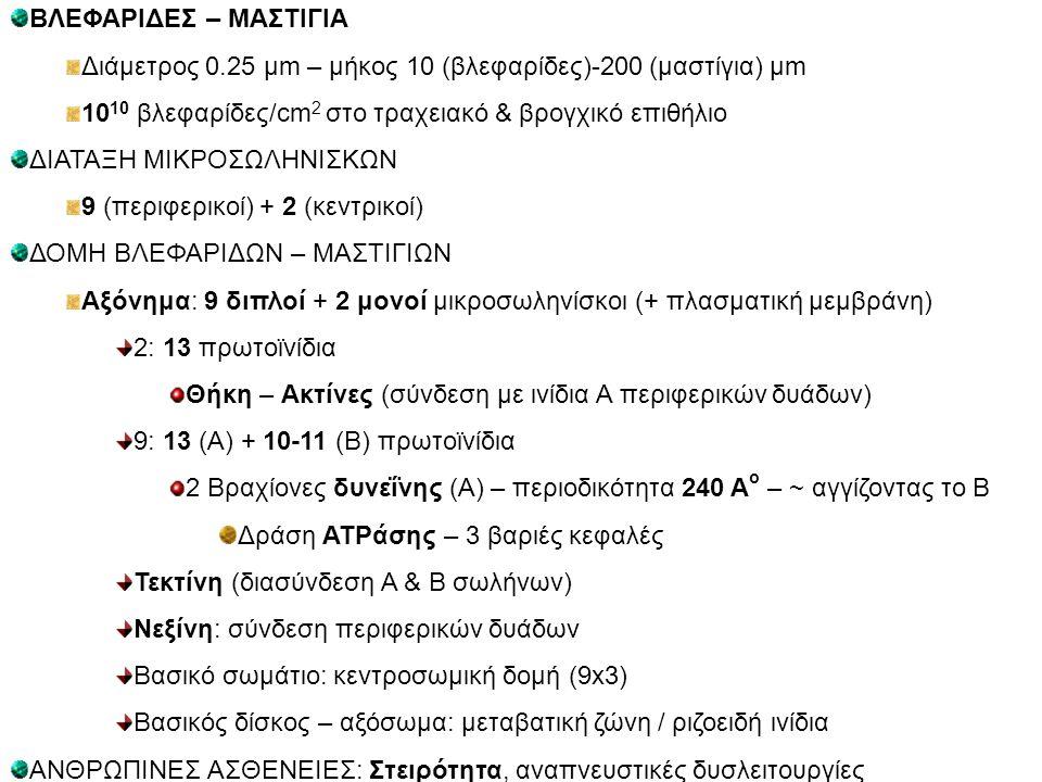 ΒΛΕΦΑΡΙΔΕΣ – ΜΑΣΤΙΓΙΑ Διάμετρος 0.25 μm – μήκος 10 (βλεφαρίδες)-200 (μαστίγια) μm 10 10 βλεφαρίδες/cm 2 στο τραχειακό & βρογχικό επιθήλιο ΔΙΑΤΑΞΗ ΜΙΚΡ